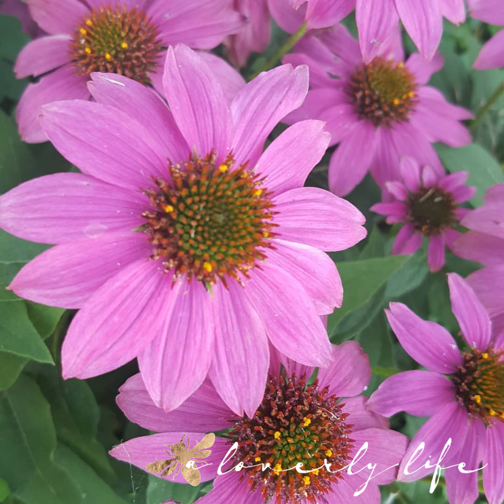 purple coneflower, attract butterflies to your garden, a loverly life