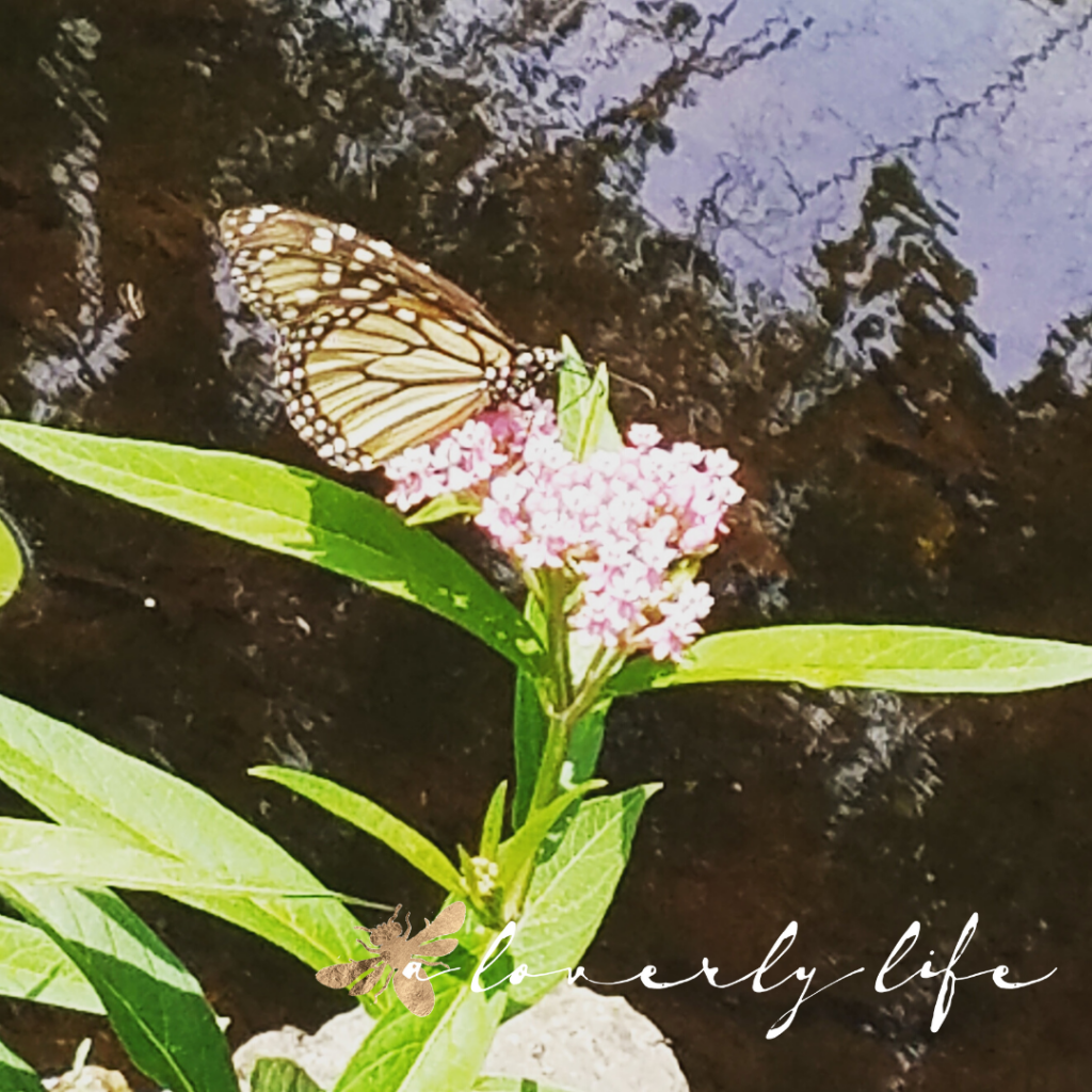 swamp milkweed & monarch, attract butterflies to your garden, a loverly life