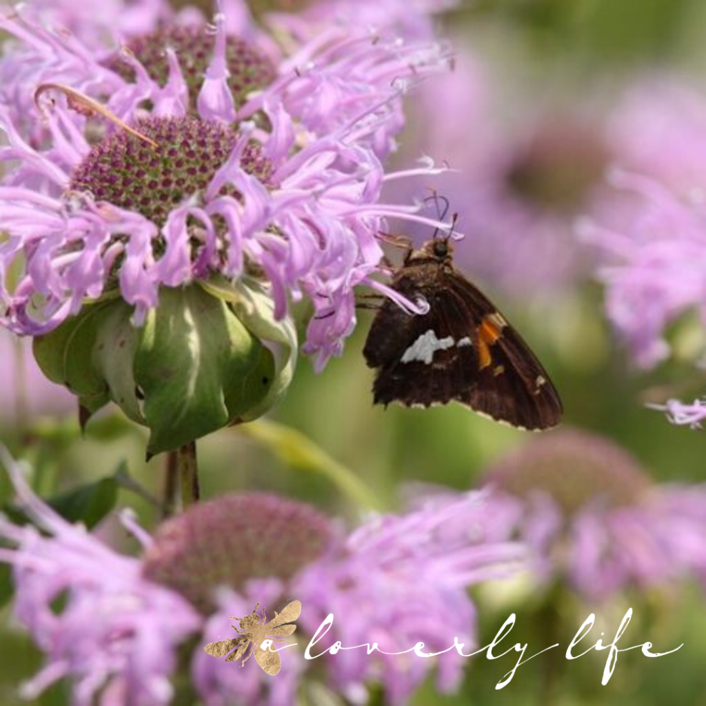 bee balm & butterfly, attract butterflies to your garden, a loverly life