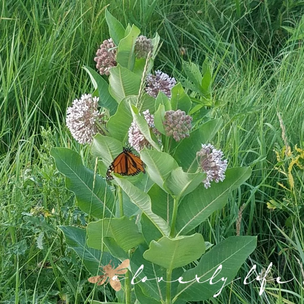 butterfly milkweed & monarch, attract butterflies to your garden, a loverly life
