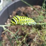 parsley worm eating dill plant