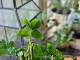 hot to propogate roses from cuttings | a loverly life