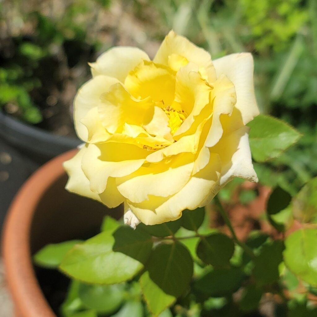 Propagated roses